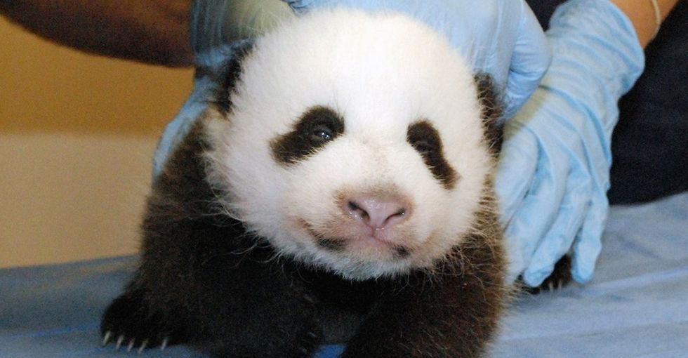 5 adorable panda photos to get you excited for Hong Kong's first baby panda