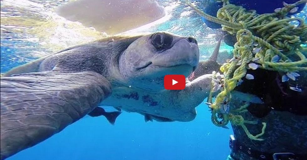A Sea Turtle Is Rescued By A Diver, Then Says 'Thank You'