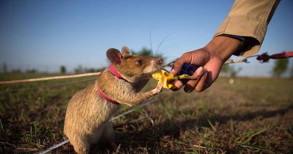 These heroic rodents are showing the world why we need to rethink how we feel about rats.