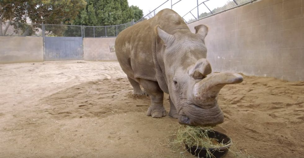 A rare rhino's death means there's just 3 left on Earth — but there's hope.