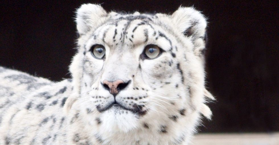 5 incredible facts about snow leopards, plus 1 fact humans can no longer ignore.