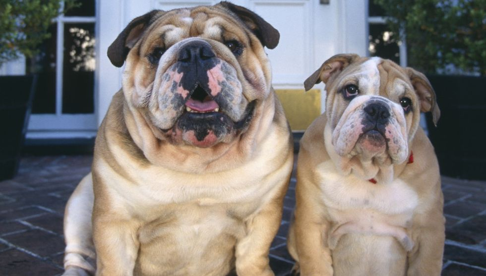 I Don't Care How Cute That Bulldog Is. We Have To Stop Making Them.