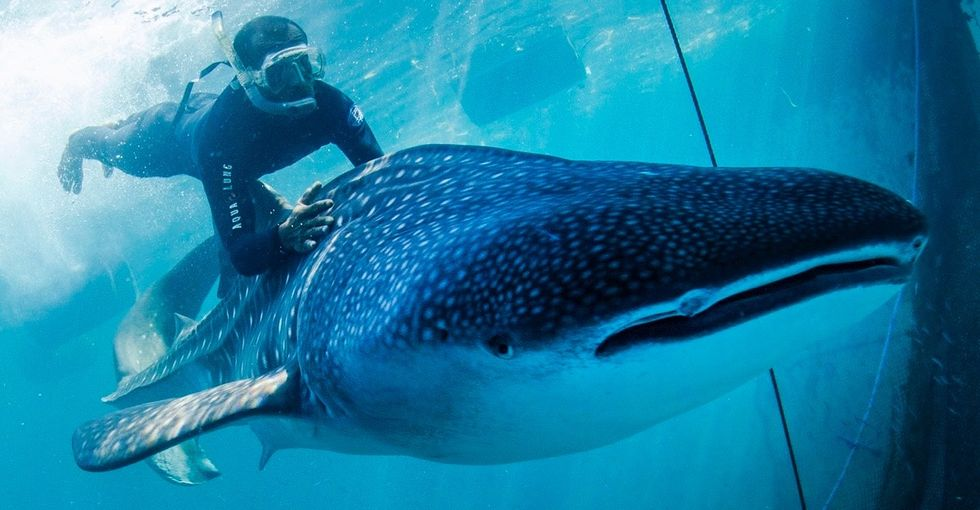 A criminal organization kidnapped 2 whale sharks. This international team freed them.