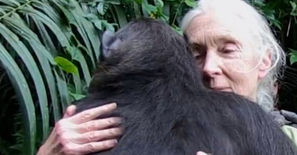 How Does A Chimp Thank Its Savior After Being Freed? With A Heart-Crushing Hug (3 Minutes In).