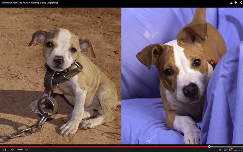 These before and after photos show what happens when you put an end to dogfighting.