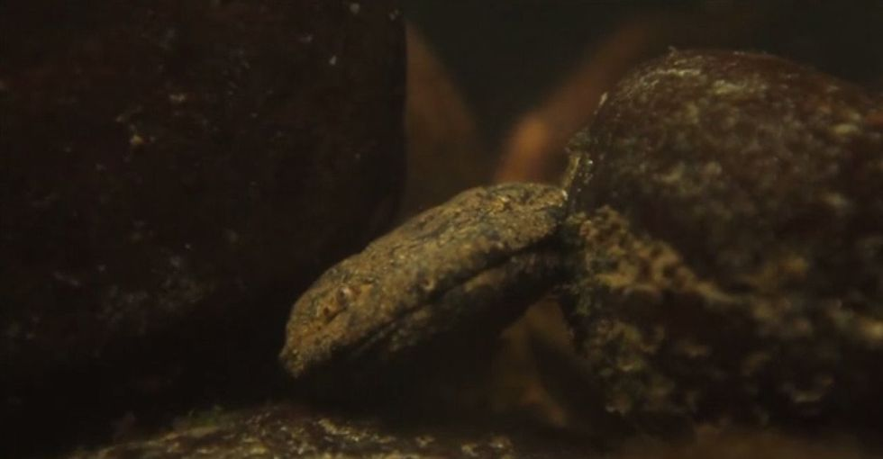 Is that a rock? Look again. It's an Appalachian hellbender, and finding one is a big deal.