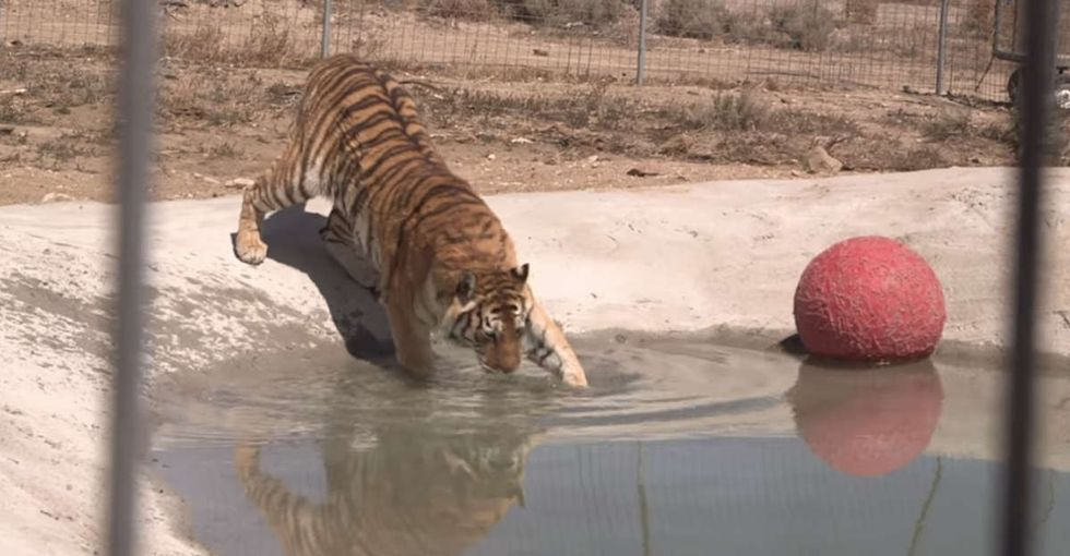 These tigers have never been swimming before. Here's how they reacted to their brand new pool.