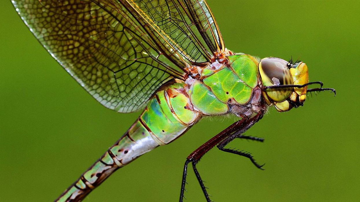 Dragonflies Make Epic Migrations, But Climate Change Could Foil Their Itineraries