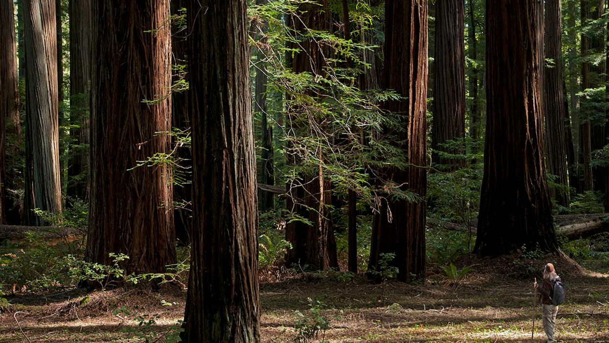 Tribute to the 'Mighty Redwoods' Wins EcoWatch Earth Day Photo Contest