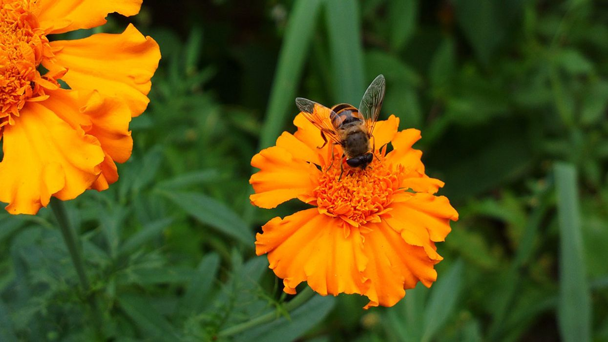 5 Flowers to Attract Beneficial Insects to Your Beds