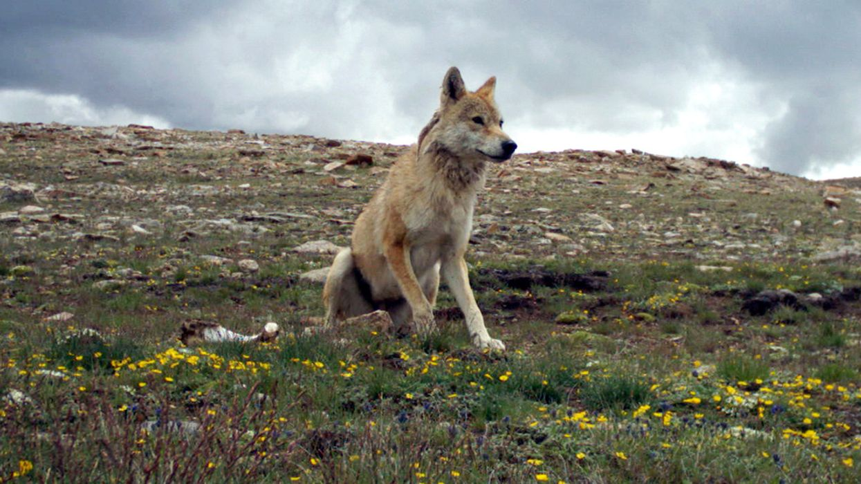Himalayan Wolf Needs Recognition as Distinct Species, Study Finds
