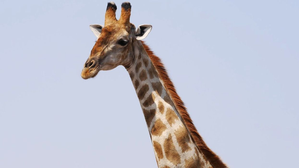 U.S. Considers Listing Giraffes as Endangered Species