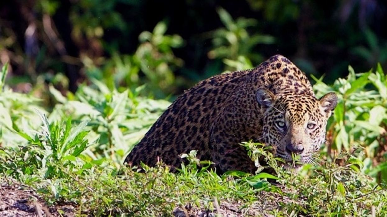 15,000 Wild Jaguars Left, Humans Must Work Together Across Borders to Protect