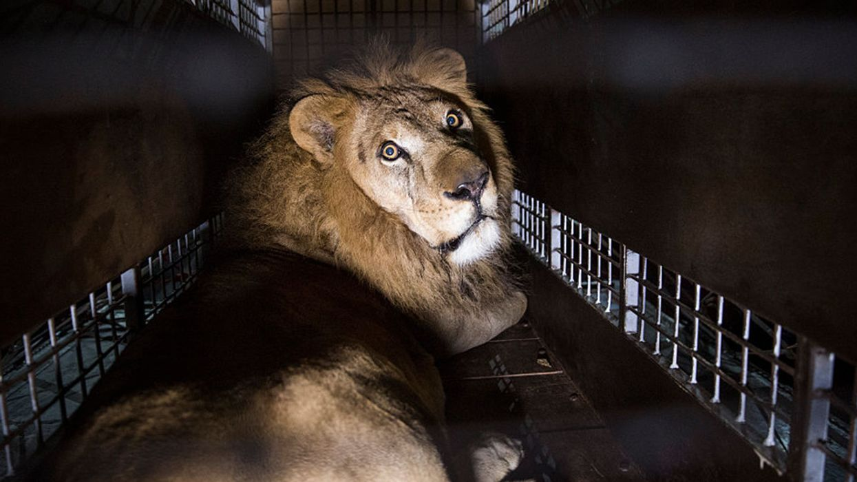 Bill to Ban Circus Animal Suffering to Be Introduced in Congress