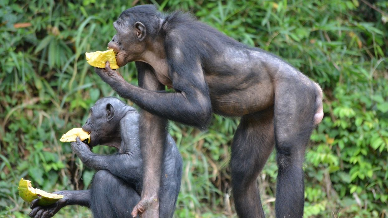 Mother bonobos, too, pressure their sons to have grandchildren