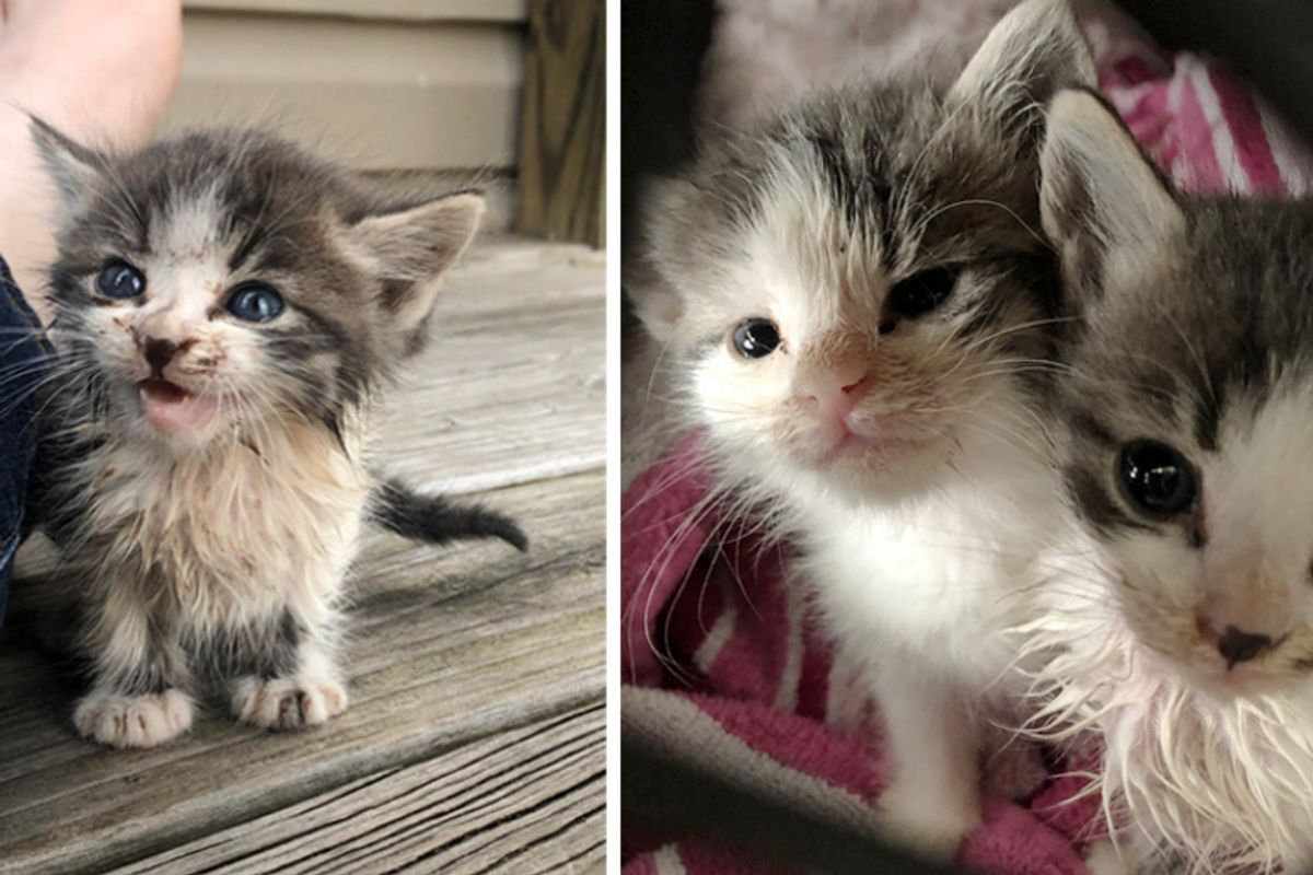 Stray Kitten Ran Up to a Couple, Meowing for Help — He Brought His Sister with Him