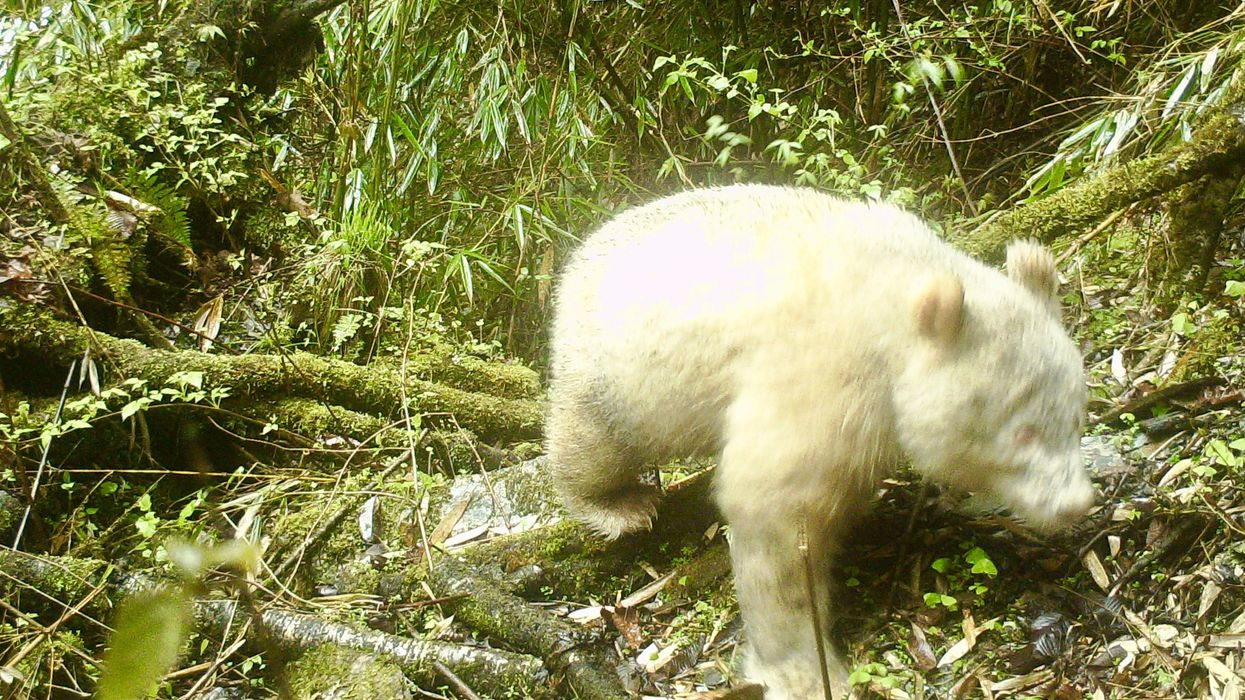 Rare White Panda Photographed for First Time Ever