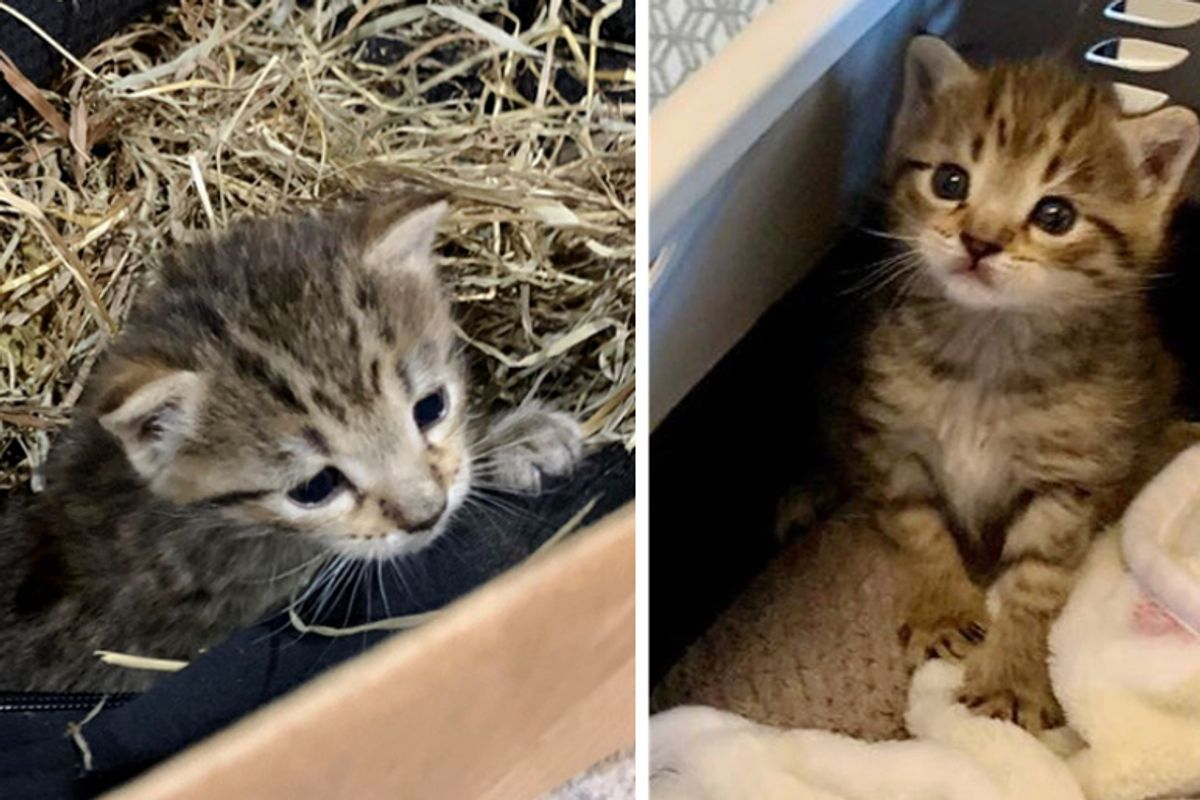 Shy Kitten Who Was Found Hiding in Hay, Really Comes Around When He Finds Someone to Love