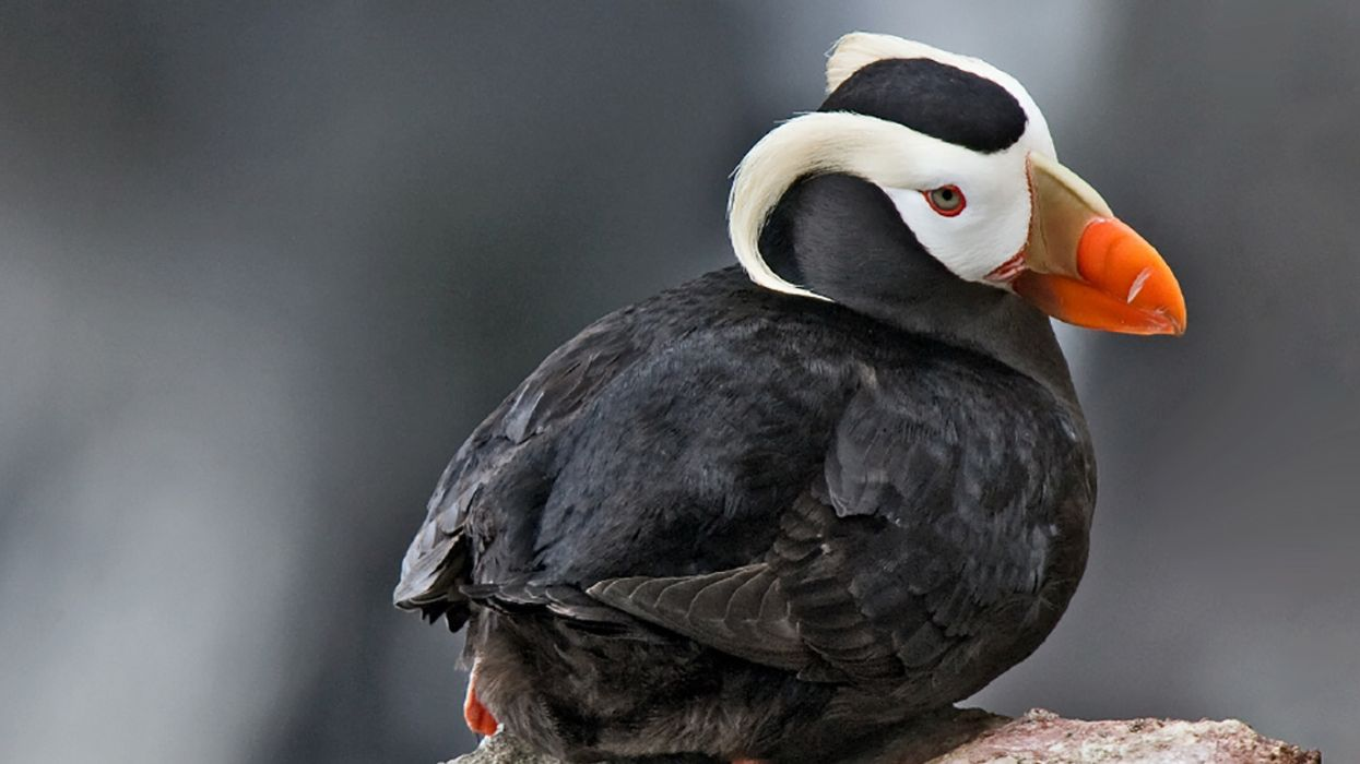 Climate Crisis Likely Caused Mass Die-Off of Tufted Puffins