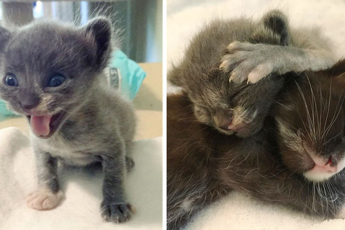 Sister Kittens Taken into Rescue - One of Them Was Half the Size and Needed Help to Grow