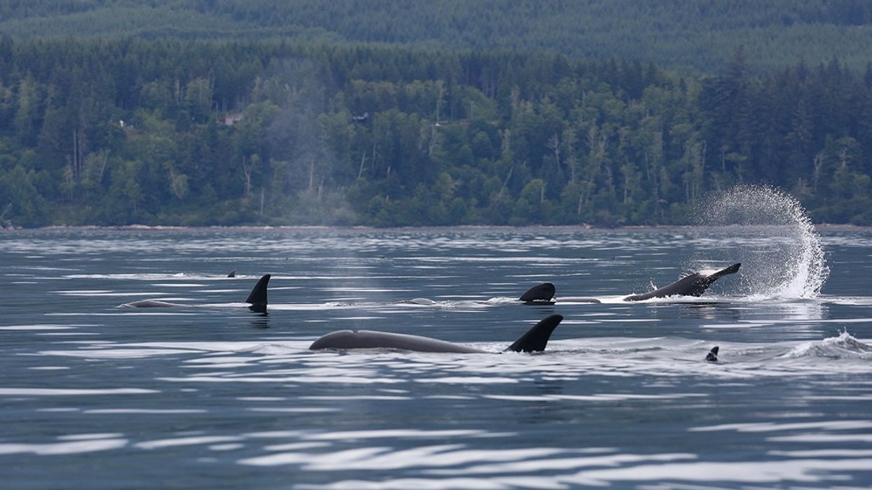 'A Ray of Hope': Second Baby Born to Ailing Southern Resident Orcas This Year