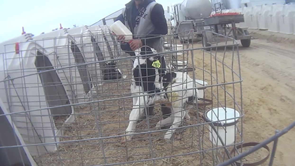 'Largest Undercover Dairy Investigation in History' Uncovers Shocking Abuse at 'Disneyland' of Farms