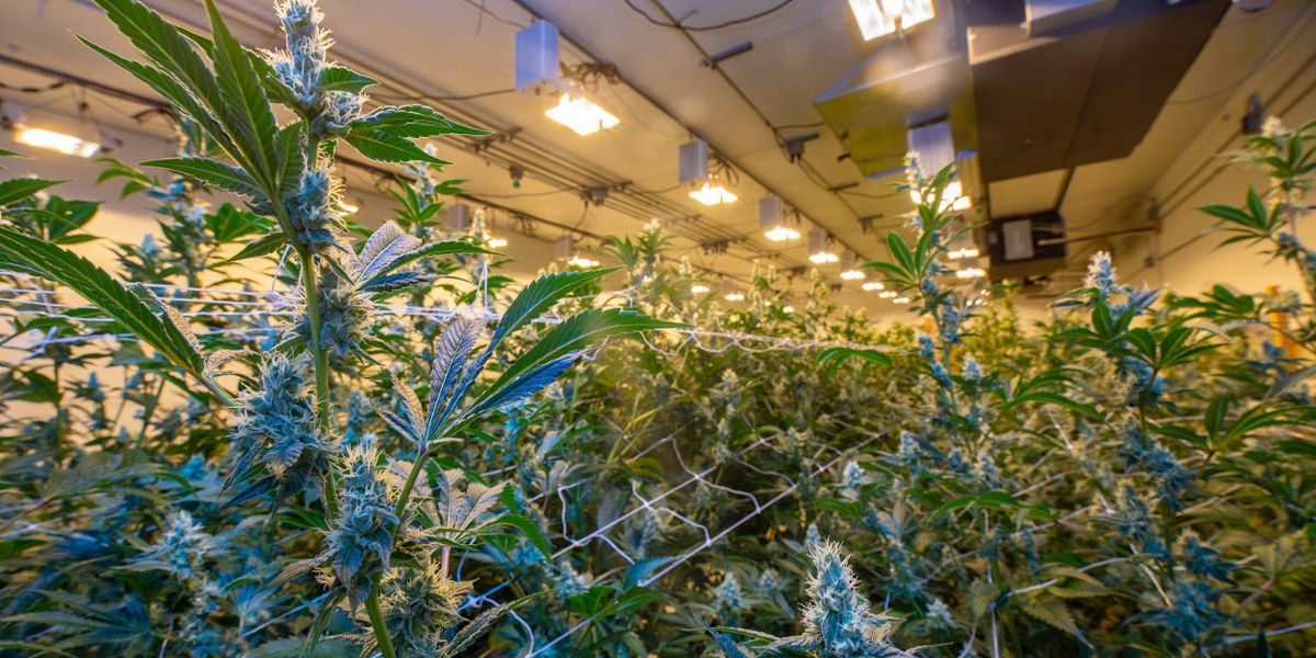 As legal cannabis spreads, growers go organic — and beyond