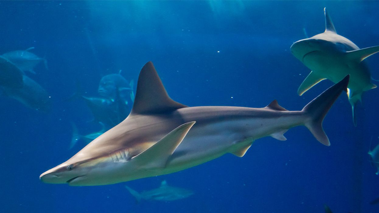 How to Protect Sharks From Overfishing