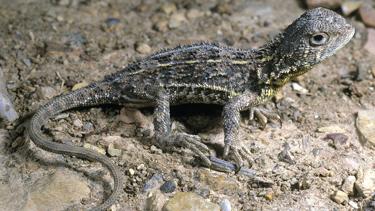Dragon Quest: Australia Kicks off Search for Possibly Extinct Lizard