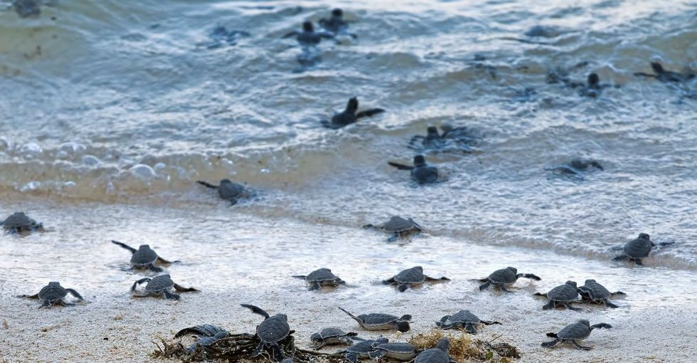 With a little help from magnetic fields and a grandpa (not theirs), baby turtles find their way.