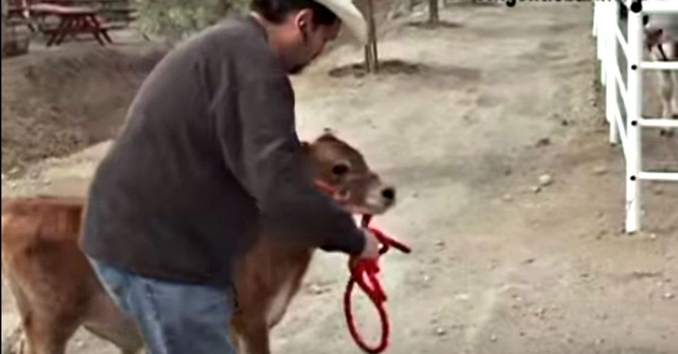 This mommy cow was crying for her calf. The moment she had him returned to her was beautiful.