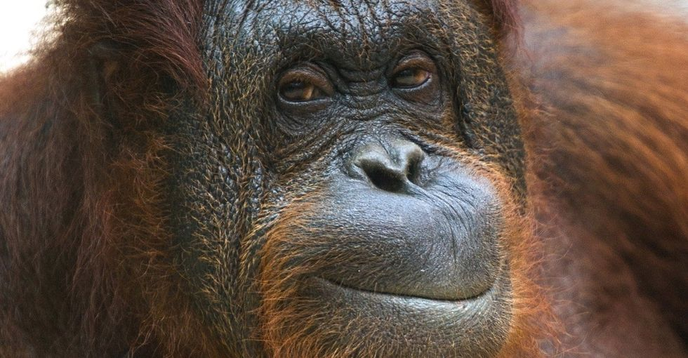 This epic zoo escape story shows how fantastically smart orangutans can be.