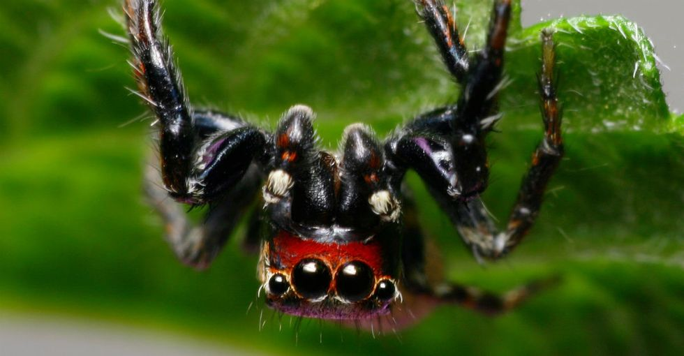 This hellish spider from nightmare-land may be man's other best friend.