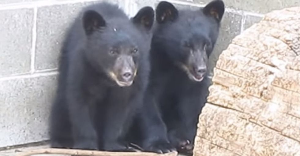 He was supposed to kill these 2 bear cubs. He saved them instead. Now he might lose his job.