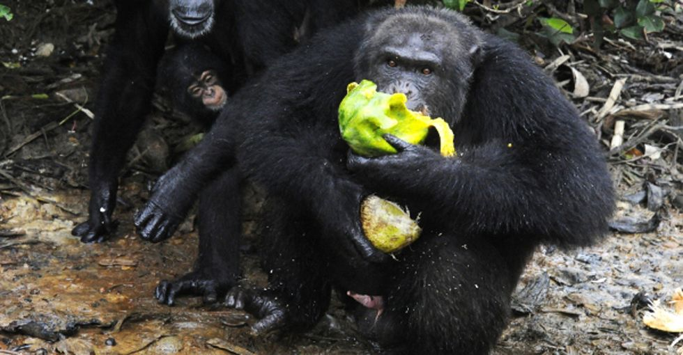 Scientists on 3 continents now have evidence: Some chimps have entered the Stone Age.