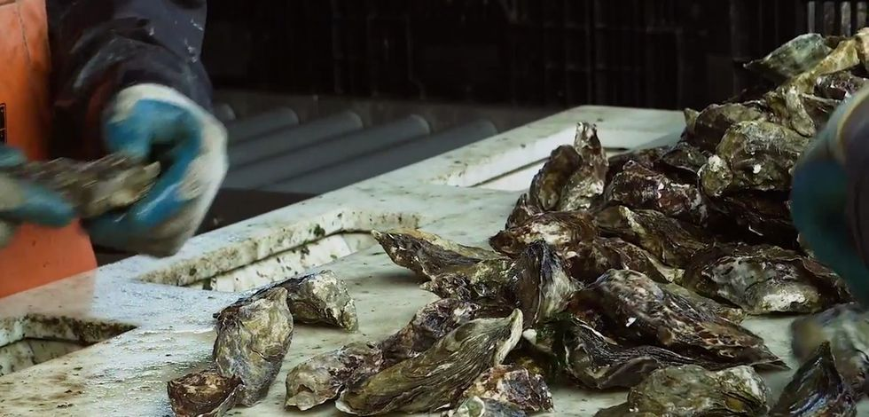Our fancy dinner oysters can tell us a lot about how our oceans are changing.