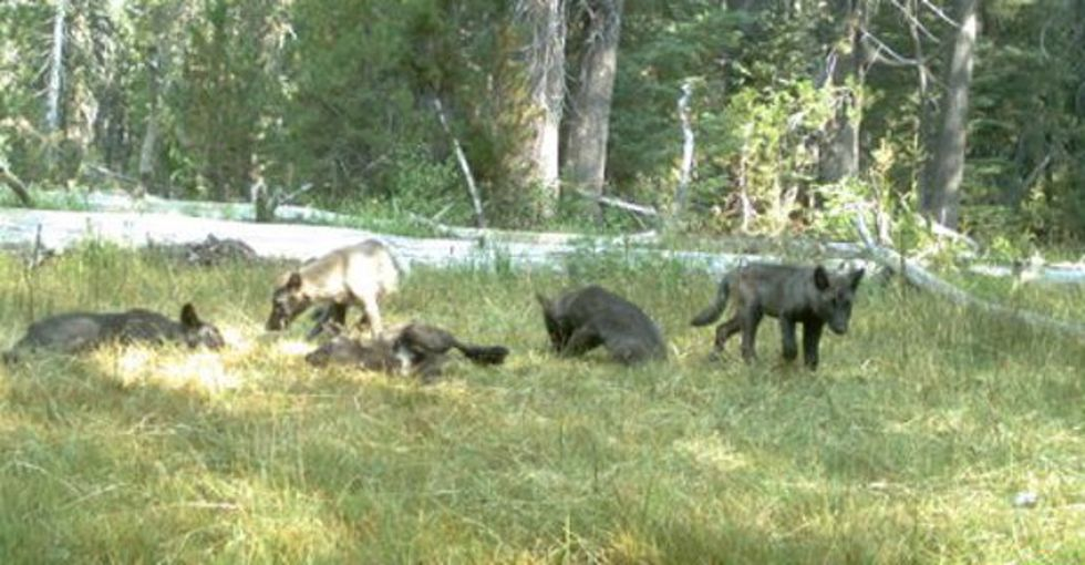 In 1924, the last wolf in California was exterminated. This summer, these 5 pups were discovered.