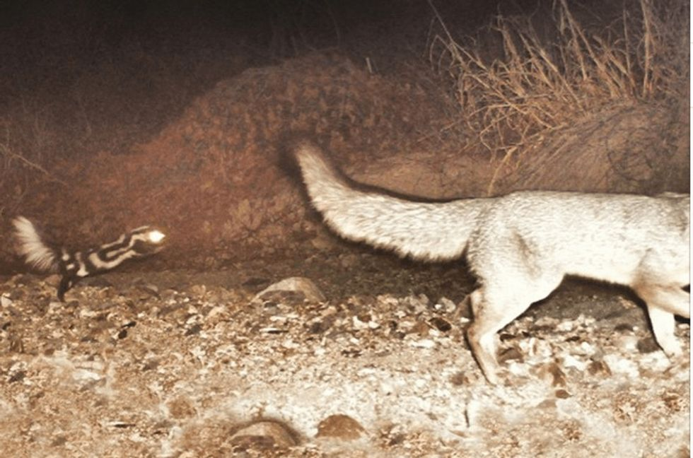 Motion-triggered cameras show us some unexpected behavior from night life on the wild side.