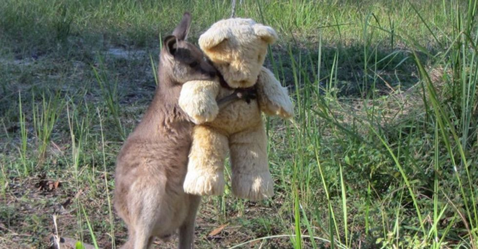Another reason to love Australia? Doodlebug the orphaned kangaroo lives there.