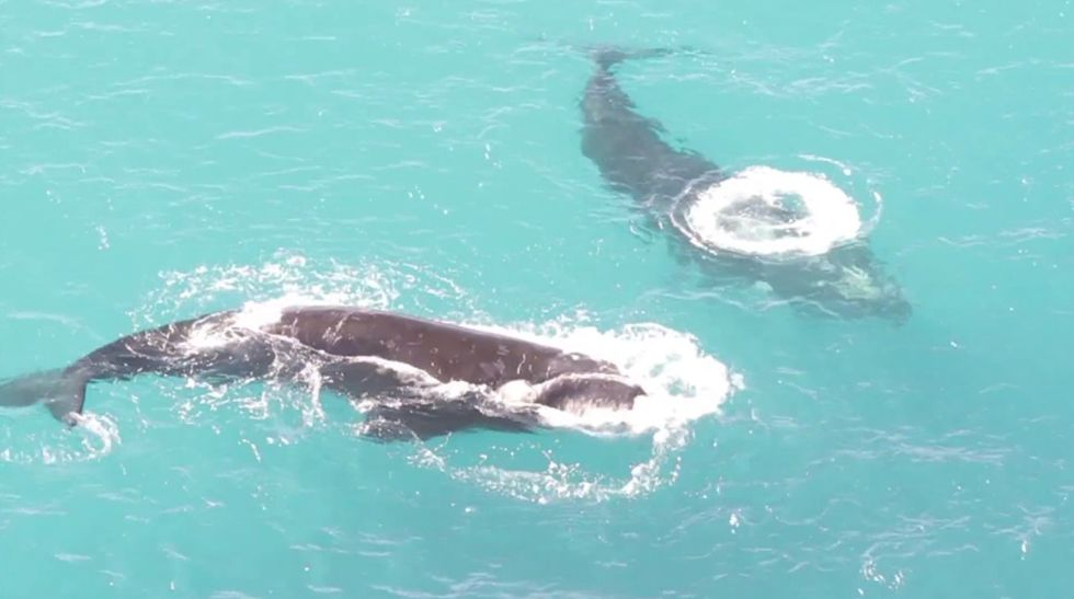 Researchers monitor these whales from above, but protecting them will be its own challenge.