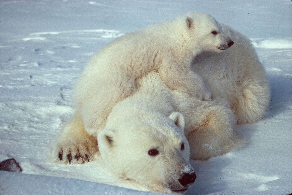 Polar bears aren't actually white and more amazing facts about Arctic animals who need your help