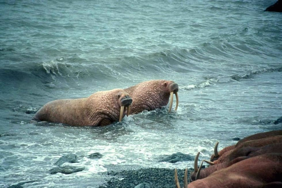Walruses are gathering by the thousands near a remote Alaskan village. Here's why.