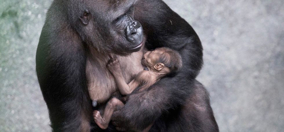 The newest member of this gorilla family is ready for his closeup in a cute photo series.