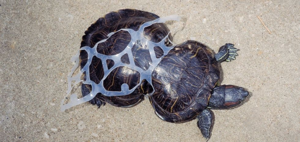 See this turtle's miraculous recovery after getting caught in a piece of litter.