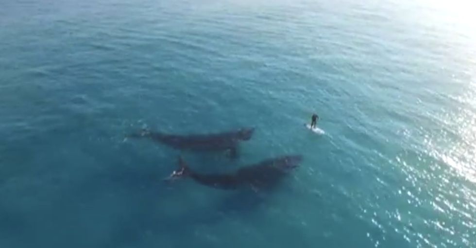 2 Australian southern right whales decided to hang out with this paddleboarder, and it was amazing.