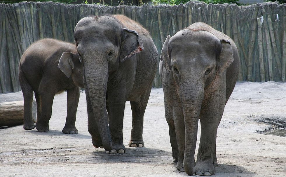 How some zoos are using leftover Christmas trees to enrich their elephants' lives.