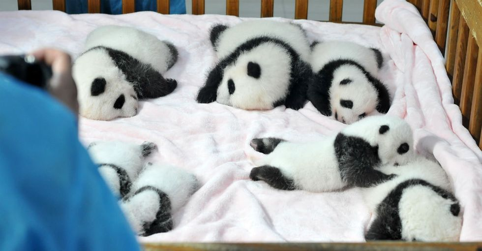 There was a 'panda kindergarten' event in China. It didn't disappoint.
