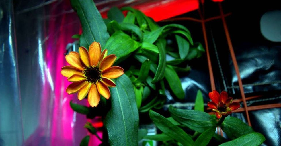 Why NASA is celebrating this photo of a seemingly ordinary zinnia.