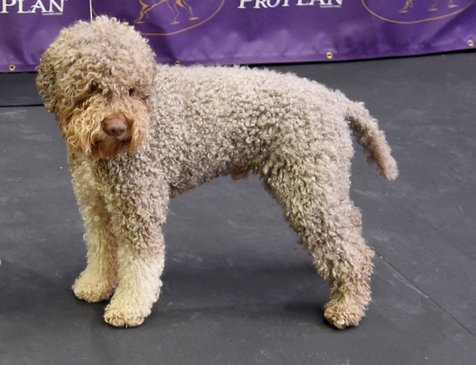 7 new breeds have just become eligible to compete at the Westminster dog show.