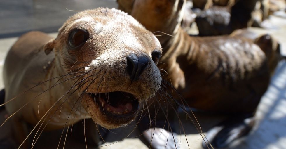 Sea lions usually live in the ocean. So why are so many showing up on land?